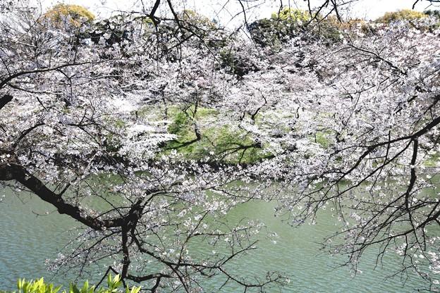 千鳥ヶ淵の桜J