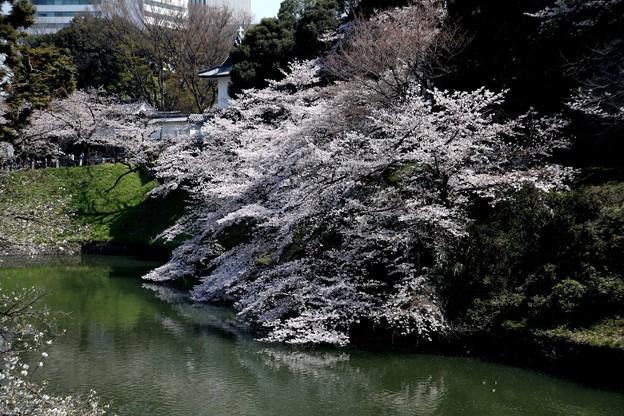 千鳥ヶ淵の桜K