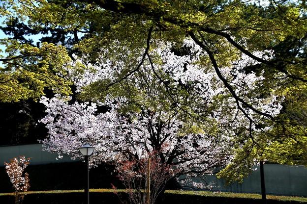 桜と緑の葉