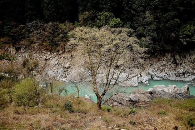 多摩川の新芽風景