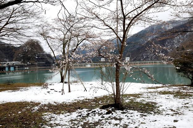 残雪の奥多摩湖の桜s