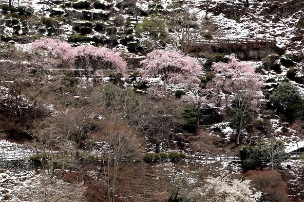 奥多摩の桜と残雪