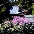 Photos: 躑躅咲く本殿風景