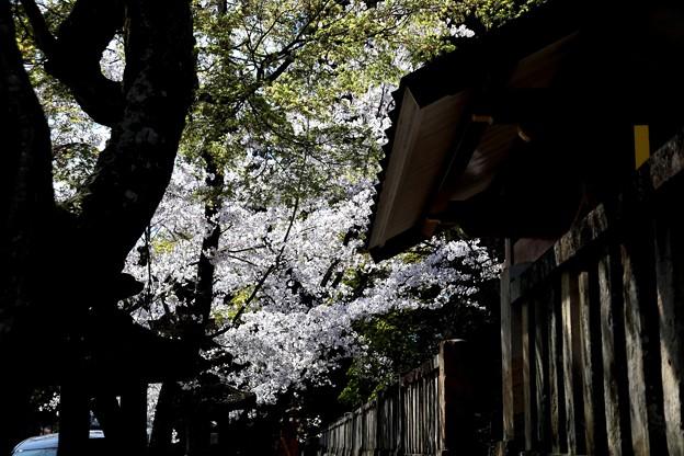 一宮神社の桜