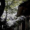 Photos: 一宮神社の桜