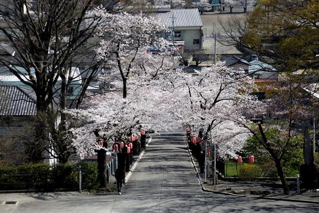 一宮神社の参道の桜s