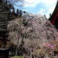Photos: 妙義神社の枝垂れ桜3