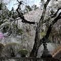 Photos: 妙義神社の枝垂れ桜