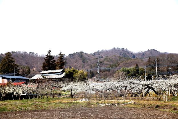 リンゴの花咲く発知風景