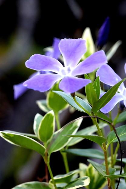 紫色の花(ニチニチソウ)