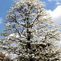 Photos: 雲とハナミズキの花