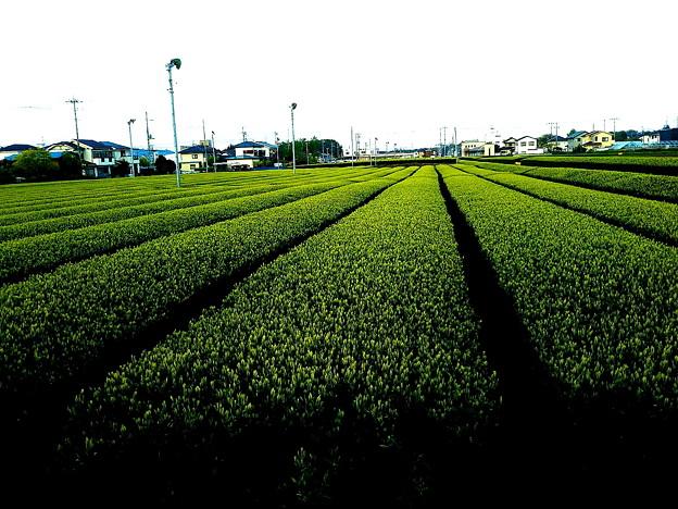 新芽お茶畑で新茶がまじかですね。