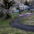 Photos: 芝桜と桜咲く小道