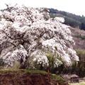 Photos: 尊厳的な上発知のしだれ桜