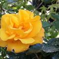 Photos: 今日の黄色い薔薇