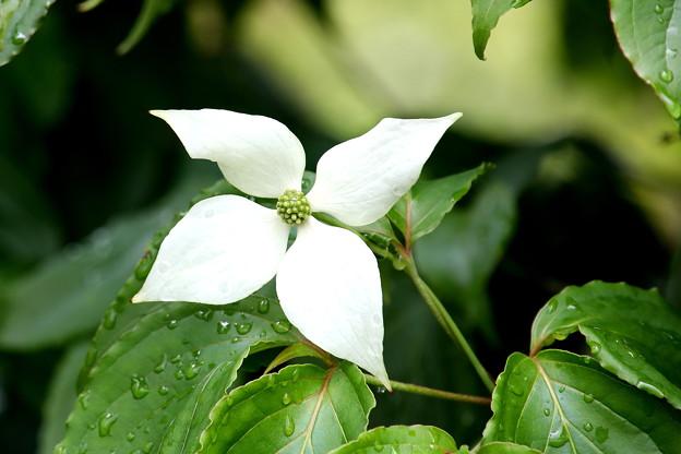 山帽子の花