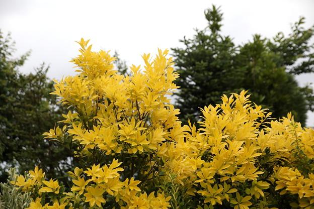 黄色い葉の木 華やかに