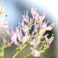 スモーク ツリーの穂の成長