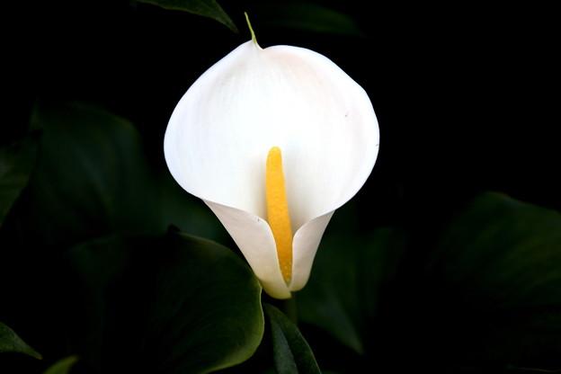 カラーの開花