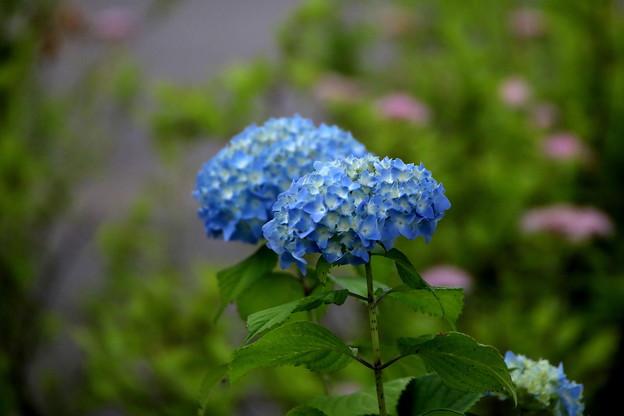 静かなブルーの紫陽花