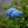 Photos: 静かなブルーの紫陽花