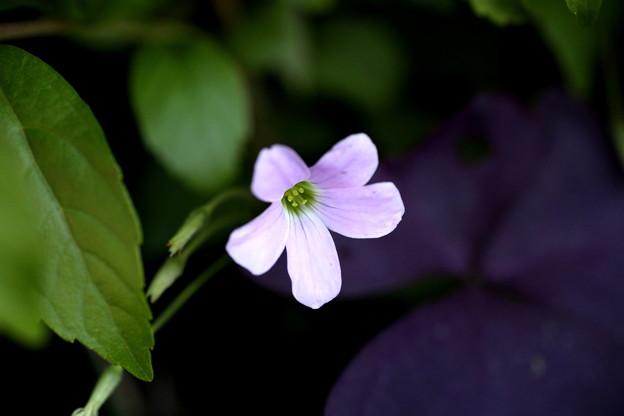 紫カタバミ