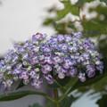 Photos: 渦紫陽花2