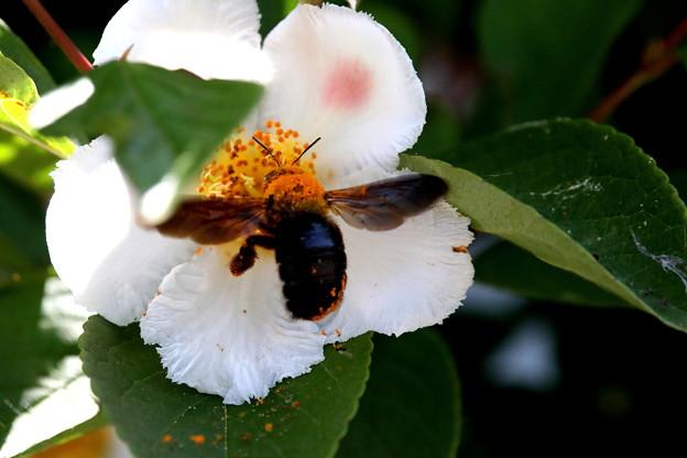 シャラへの蜜蜂