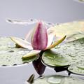 Photos: 雨上がりの睡蓮の花