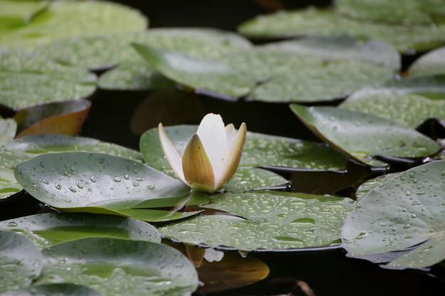 雨上がりの睡蓮の花2