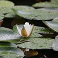 Photos: 雨上がりの睡蓮の花2
