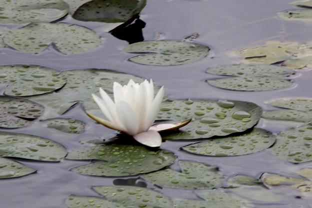 雨上がり一輪の睡蓮