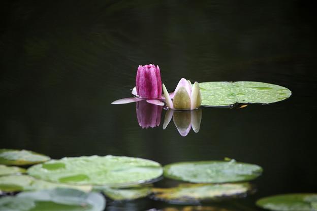 水面より顔を出す睡蓮の紅白の花
