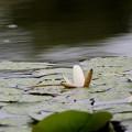 Photos: 睡蓮と池の水