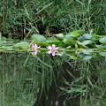 Photos: 睡蓮の池(見沼自然公園)