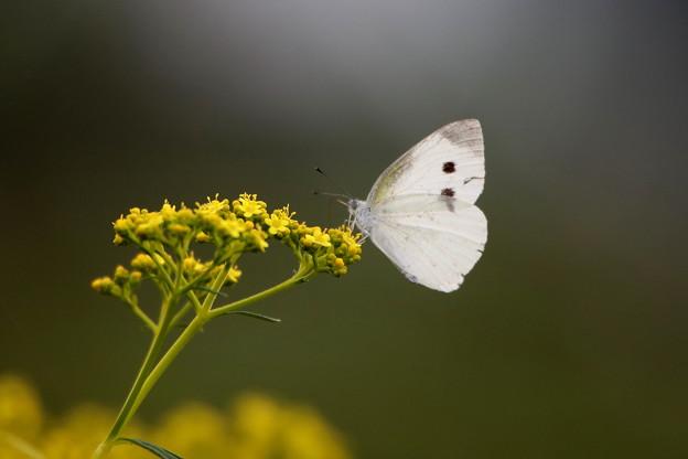 女郎花のモンシロチョウ