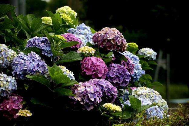 紫陽花の七変化