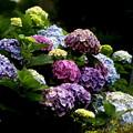 Photos: 紫陽花の七変化