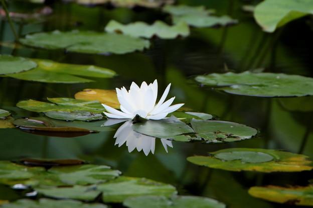 白睡蓮 池の精霊(所沢航空公園)