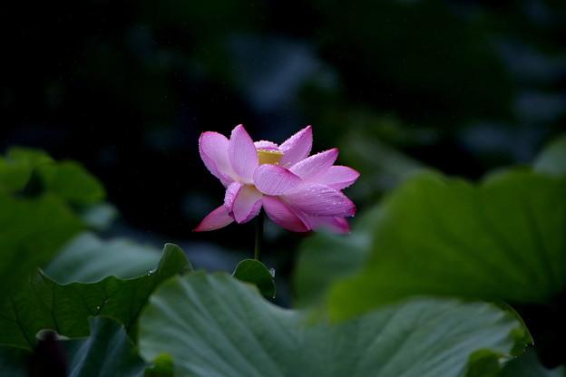 薬師池の蓮2