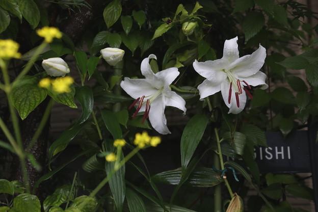 カサブランカ咲く