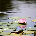 Photos: ピンク系の睡蓮 一輪