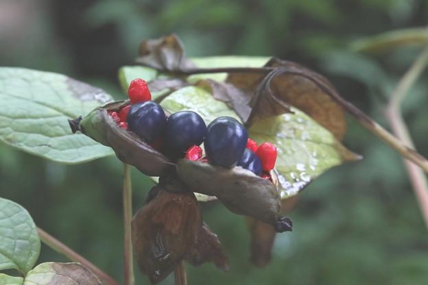 Photos: 山芍薬の種子