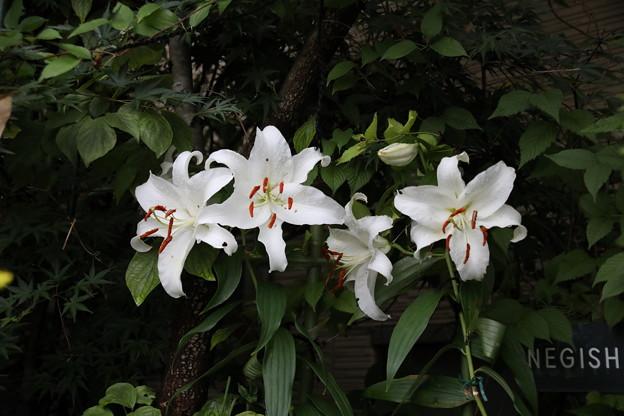 カサブランカ開花