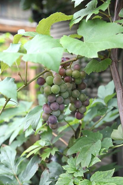 現在のブドウの実状態