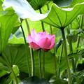 Photos: 小雨の中の蓮の花