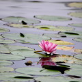 Photos: 睡蓮咲く彩の森入間公園