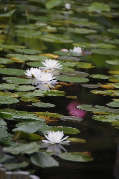白い睡蓮咲く池