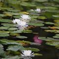 Photos: 白い睡蓮咲く池
