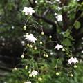 蓮華升麻多数咲いてきました。
